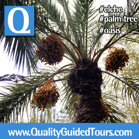 Palm tree with dates, Elche